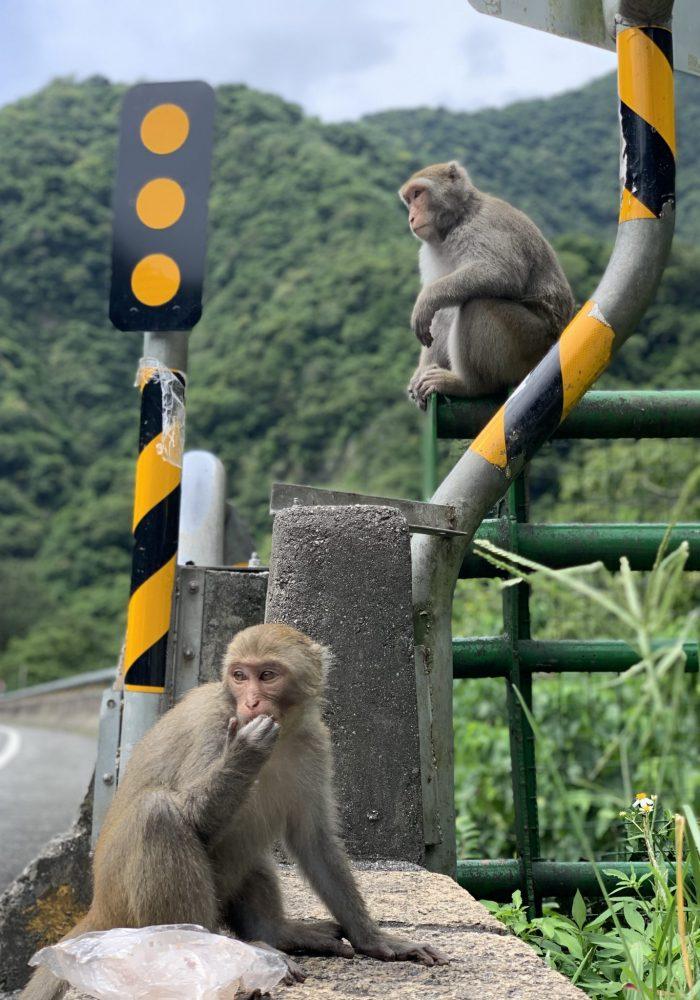 Formosan Macaque